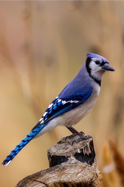 Blue Jay Animal Spirit Meaning