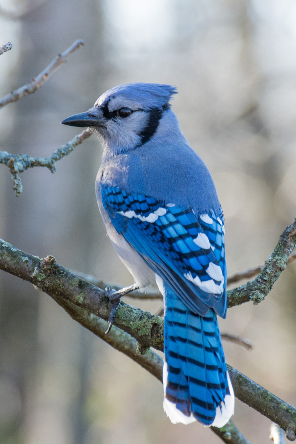 What Does A Blue Jay Symbolize