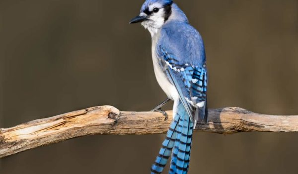 5 Spiritual Meanings of Seeing a Blue Jay