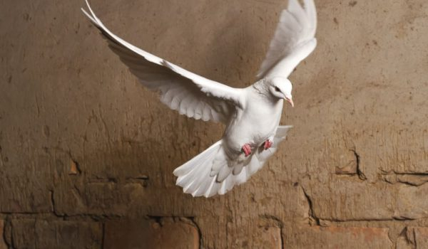 5 Spiritual Meanings of White Dove