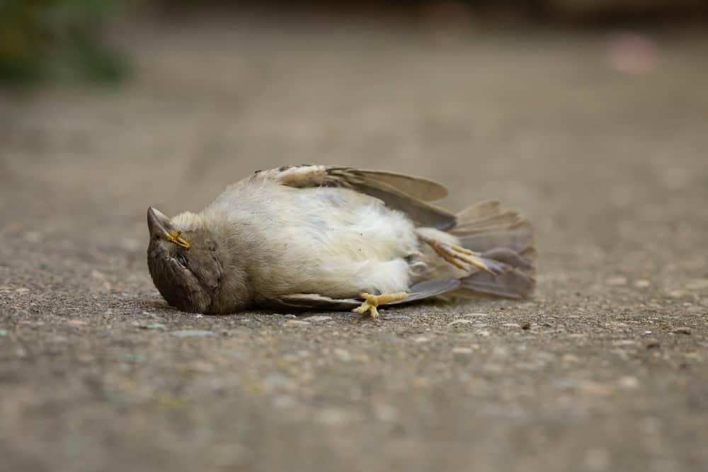 Dead bird meaning & omen