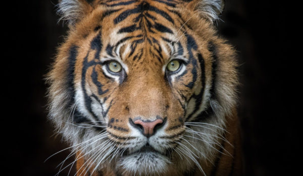19 Spiritual Symbolism & Meanings of Tiger (Totem + Omens)