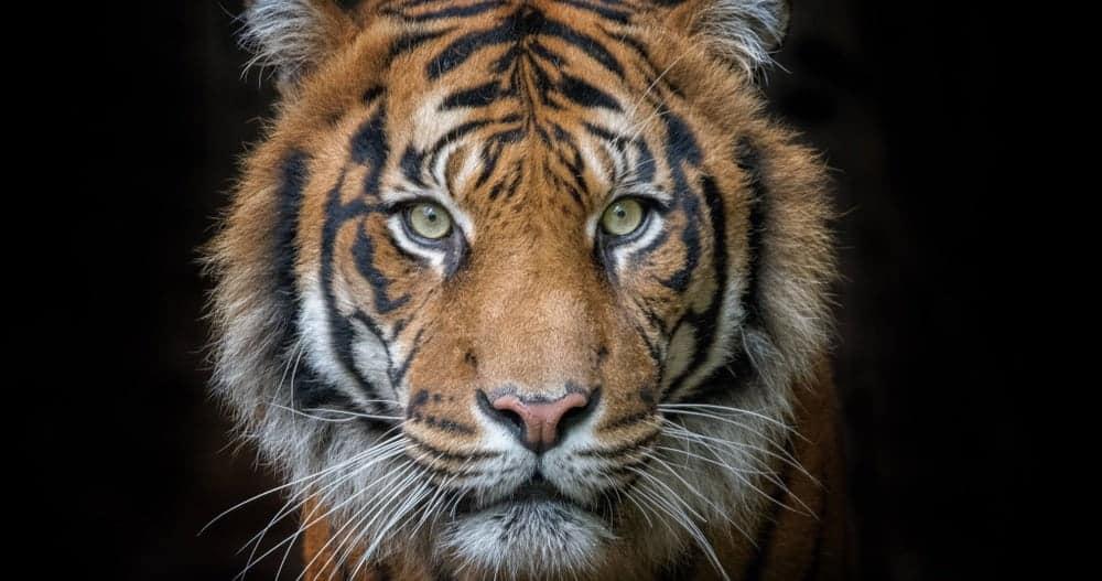 Tiger Symbolism