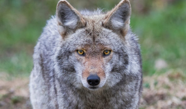16 Spiritual Symbolism & Meanings of Coyote (Totem + Omens)