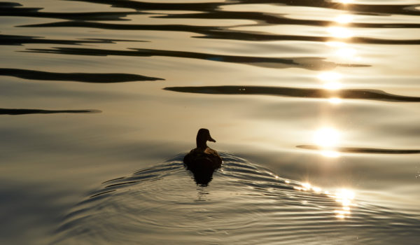 8 Spiritual Symbolism & Meanings of Duck (Totem + Omens)