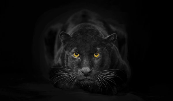 26 Spiritual Symbolism & Meanings of Black Panther (Totem + Omens)