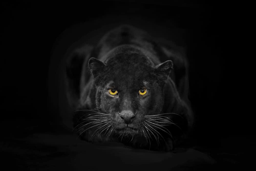 panther spirit animal